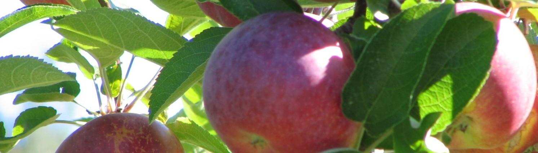 C'est le temps des pommes!